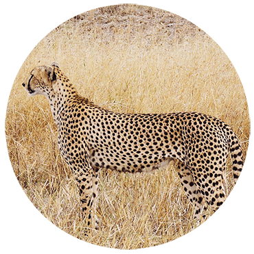 slow-learner-cheetah-l4l